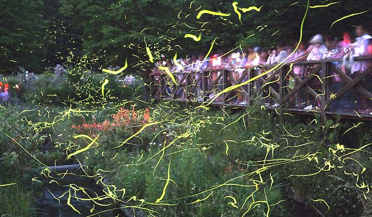 辰野町松尾峡の「ほたる童謡公園」で舞うゲンジボタルの光跡=昨年6月