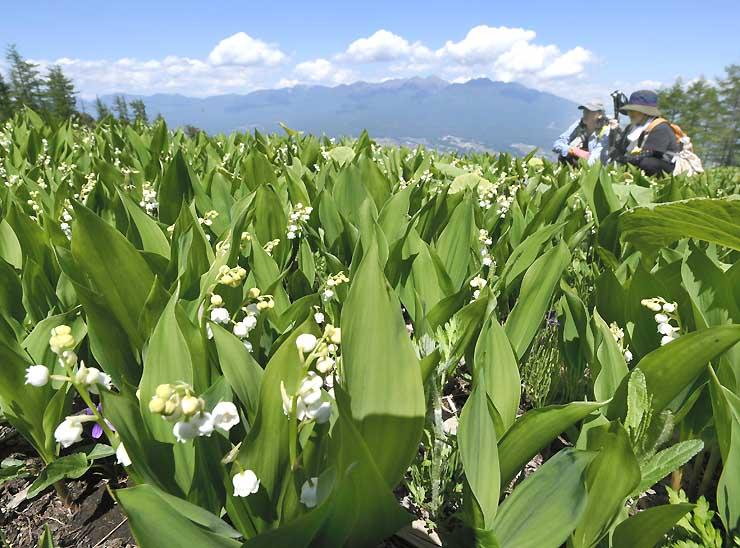 八ケ岳(奥)を一望する斜面で見頃を迎えたドイツスズラン=3日、富士見町