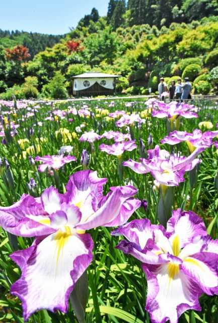 あでやかな花を咲かせ始めたハナショウブ=3日、福井市田ノ谷町の大安禅寺