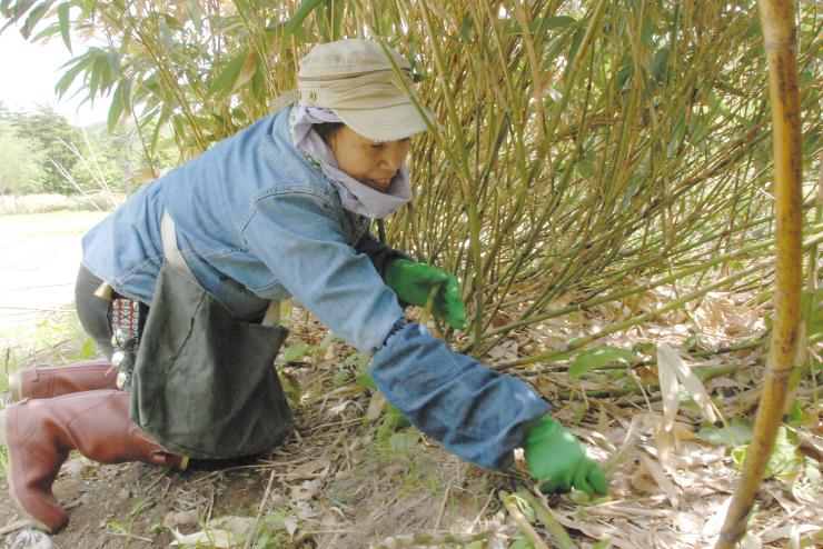 竹やぶの中でネマガリダケを収穫する入山者
