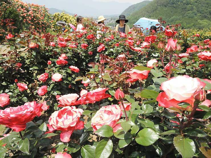 「高遠しんわの丘ローズガーデン」で色鮮やかに咲き誇るバラ=6日、伊那市高遠町