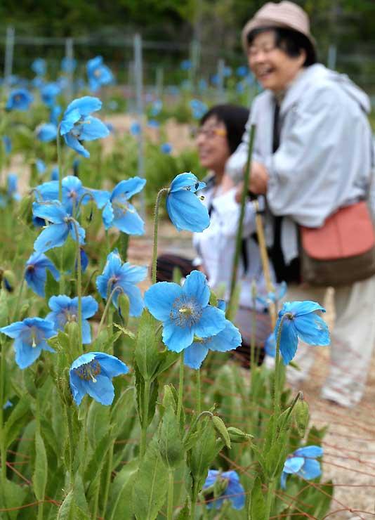 大池高原で青い花を咲かせたメコノプシス=7日午前10時32分、大鹿村