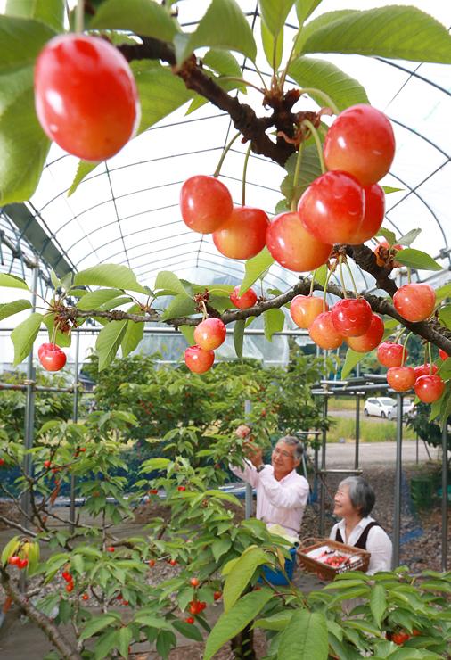 真っ赤に実ったサクランボ=氷見市上田の稲泉農園