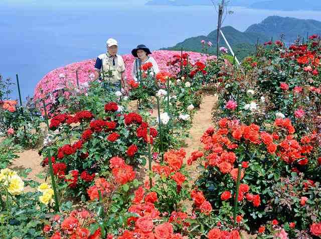 色とりどりの花が咲き誇るバラ園=8日、福井県のレインボーライン山頂公園