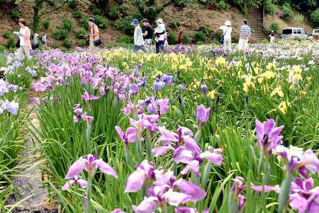 色とりどりのハナショウブが見頃を迎えている花菖蒲園=11日、福井県あわら市北潟