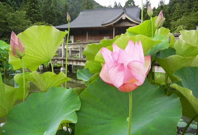 いち早く開花した「巨椋の彩雨」=16日、福井県南越前町中小屋の花はす公園