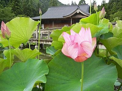 花はす公園でハスの開花確認 今季初、夏告げる大輪