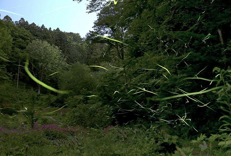 里山を背景に、ほのかな光を放って舞うホタル=15日午後8時30分ごろ、雪国植物園