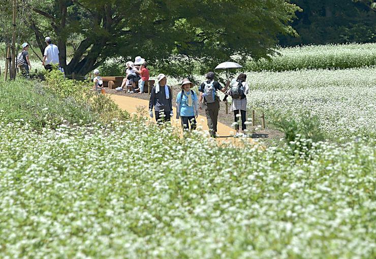 ソバ畑が広がる国営アルプスあづみの公園堀金・穂高地区の「里山文化ゾーン」を散策する人たち=18日、安曇野市