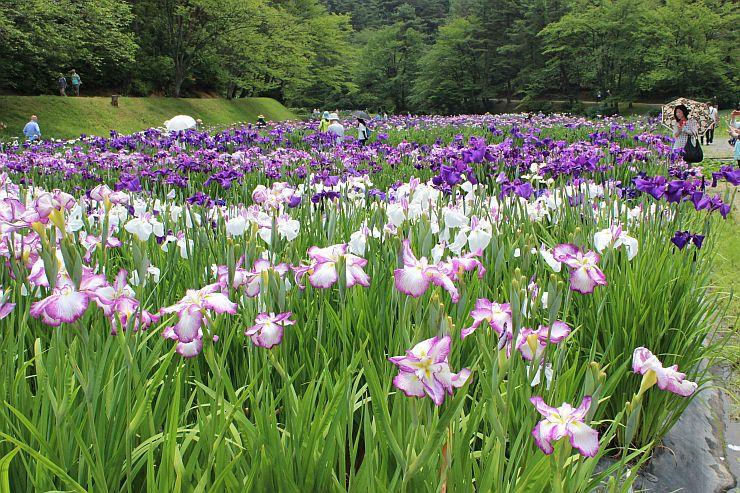 梅雨空から時折差し込む日の光を受け、重なって色を増す花びらを観光客らが楽しんだ=22日、新発田市五十公野