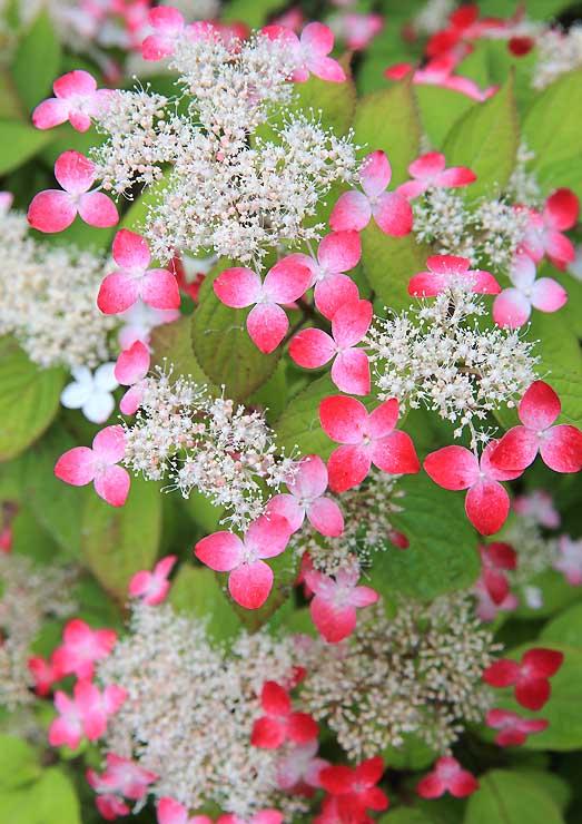 雨上がりに彩りを増した「紅ヤマアジサイ」。花びらのように見えるがくが白からピンク、紅色へと変わっていく=23日、飯田市