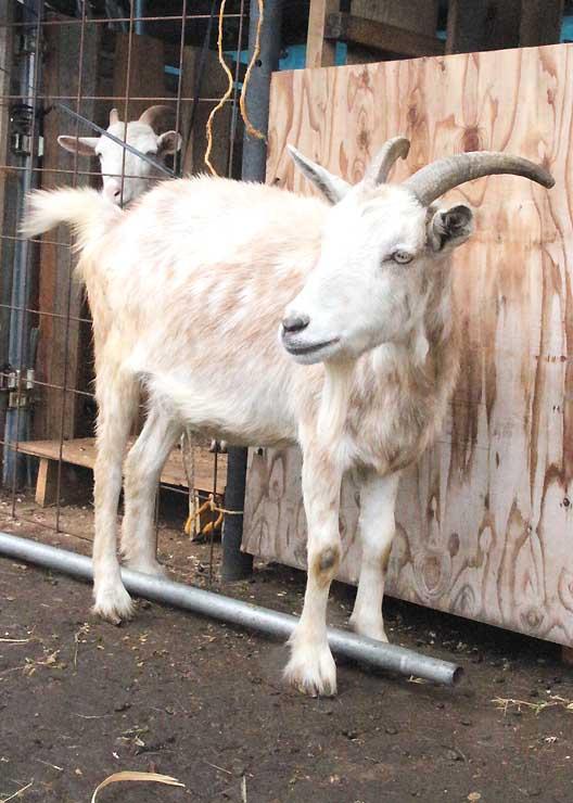 牟礼駅の「ヤギ駅長」に就任するアルパイン種のヤギ
