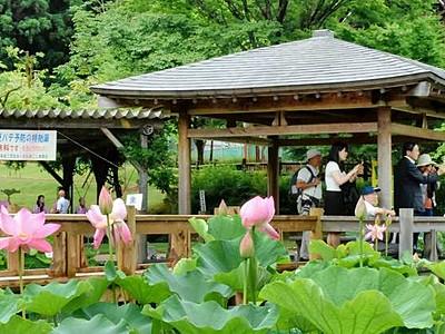 鮮やかハス大輪、池に映え 南越前でまつり、52品種開花