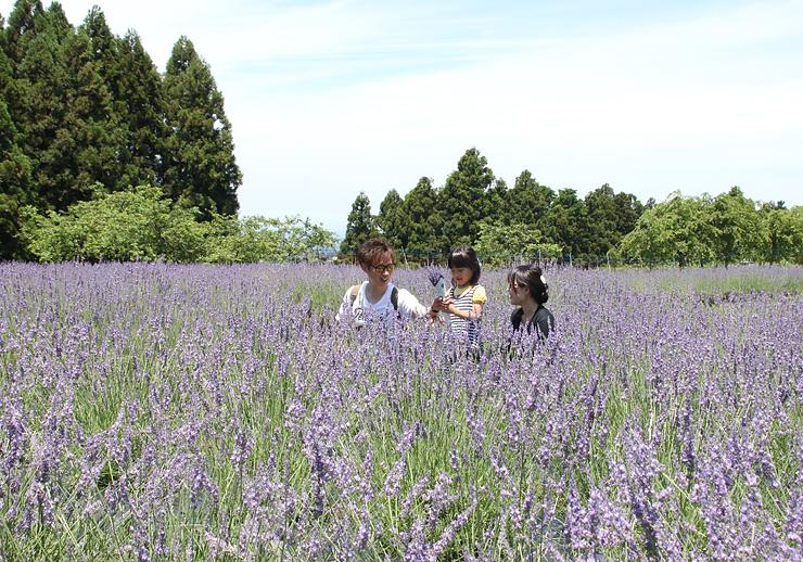 畑一面を淡い紫色に染めるラベンダー