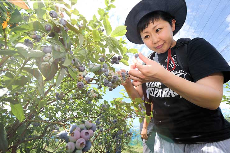 ブルーベリー狩りが最盛期を迎えている観光農園=4日、松川町