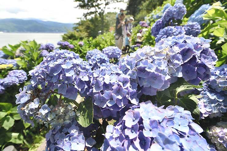 諏訪湖(左奥)を望む小坂公園で見頃を迎えたアジサイ