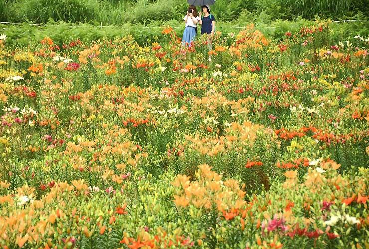 岩岳山麓で見頃を迎えているユリの花々