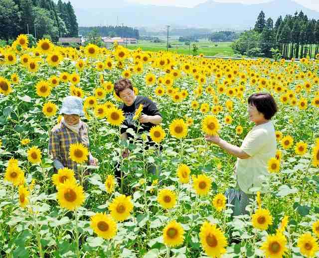 見ごろを迎えている約5千本のヒマワリ=11日、福井県大野市蓑道のスターランドさかだに