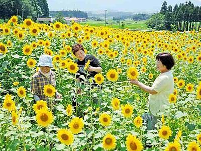 畑一面に黄金の大輪、大野・蓑道 ヒマワリ5000本見頃