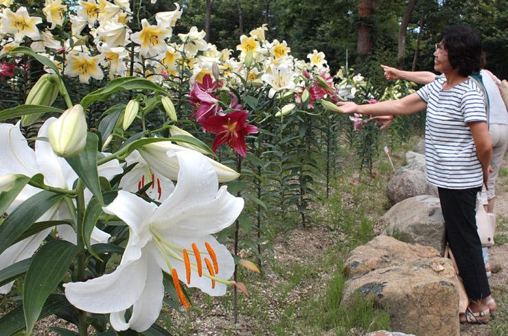 白い大輪の花を咲かせたカサブランカ