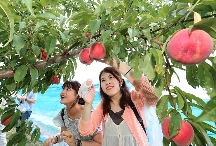 甘い香りが漂う中、熟した桃の実に手を伸ばす観光客=12日、豊丘村