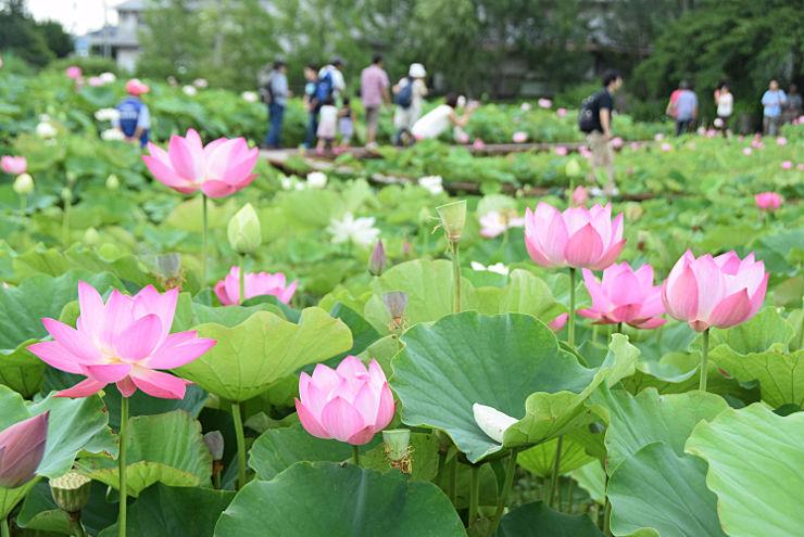 信濃国分寺近くの池で華やかに咲くハス