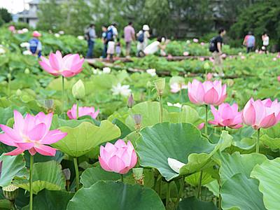 白やピンク、ハス華やかに 上田でフェスタ
