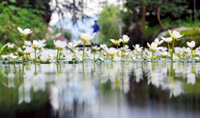 清流でかれんな花を咲かせるバイカモ=19日、福井県越前市上真柄町