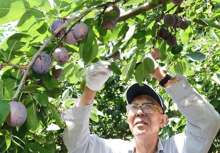 熟したプルーンを収穫する小須田さん