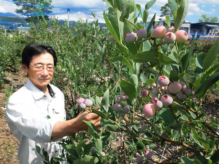 自らの農園でブルーベリーの生育を確かめる清水さん