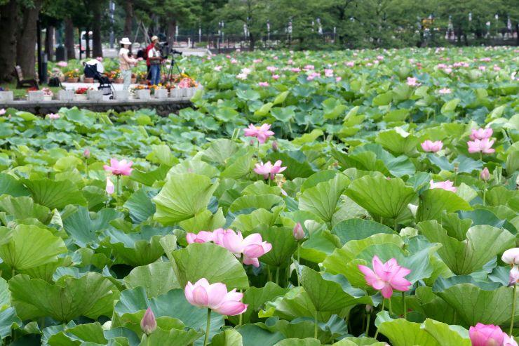 淡いピンク色で水面(みなも)を彩るハス=21日、上越市の高田公園