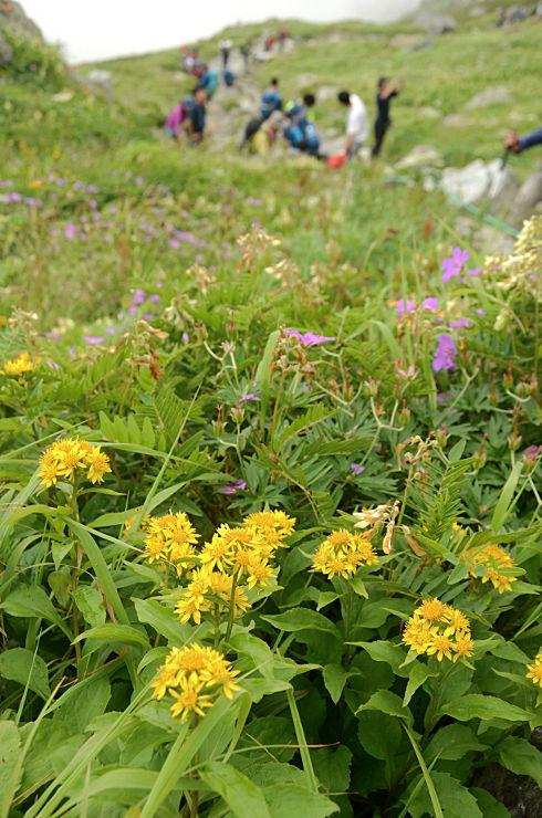 白馬岳の登山道脇で咲くミヤマアキノキリンソウ(手前)=30日午前10時29分