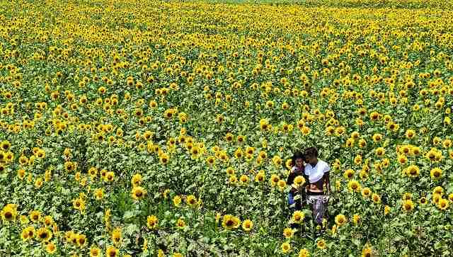大輪が咲き誇るヒマワリ畑。写真を撮る若者の姿も=29日、小浜市加茂