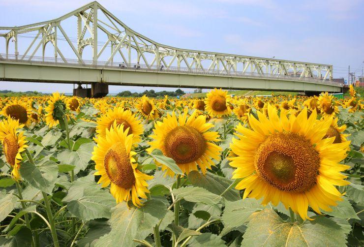河川敷で見頃を迎えたヒマワリ=29日、長岡市の信濃川左岸