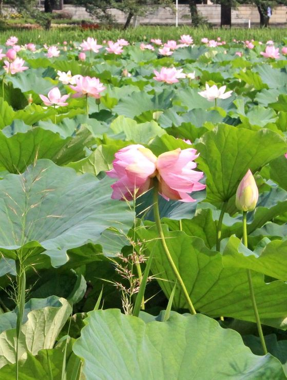 1本の茎に二つ花を咲かせる「双頭蓮」=1日、上越市