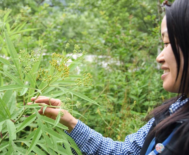 上高地で例年よりも早く咲いているハンゴンソウ