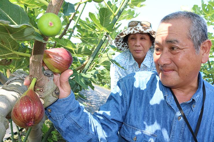 収穫に向け、イチジクの育ち具合を確かめる高見さん夫婦