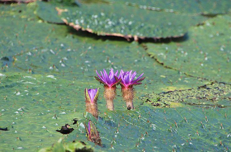 見頃を迎えたオニバスの花=16日、新潟市北区の福島潟のオニバス池