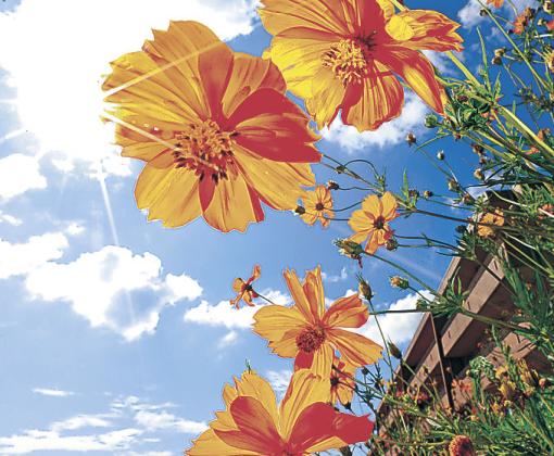 かれんな花を咲かせるキバナコスモス=金沢市城南1丁目