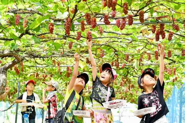 ブドウ狩りを楽しむ児童=19日、越前町小倉の泰澄の杜