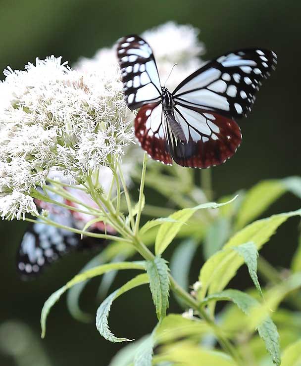 花の蜜を求めて舞うアサギマダラ