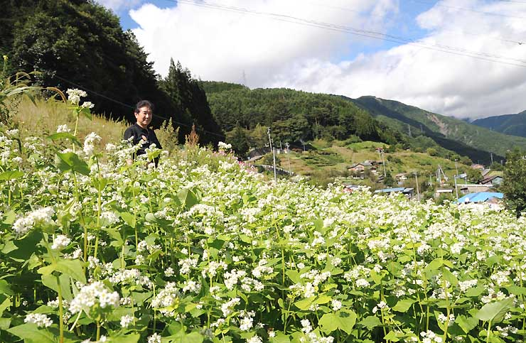 雨上がりの下栗地区で風に揺れるソバの花
