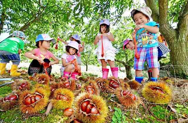 実ったクリを夢中になって拾う園児たち=1日、越前市黒川町の白山観光くり園