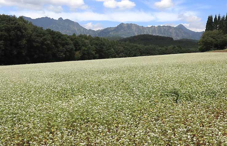 戸隠連峰を望む青空に映えるソバの花=1日、長野市戸隠豊岡