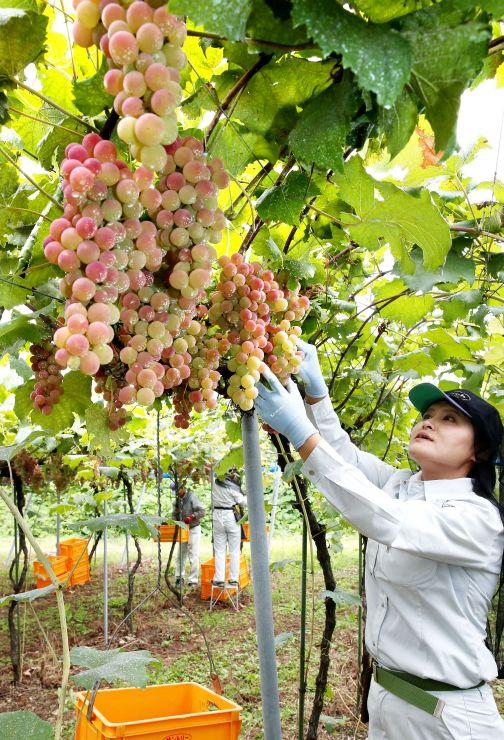 岩の原葡萄園で始まったワイン用ブドウの収穫=5日、上越市北方