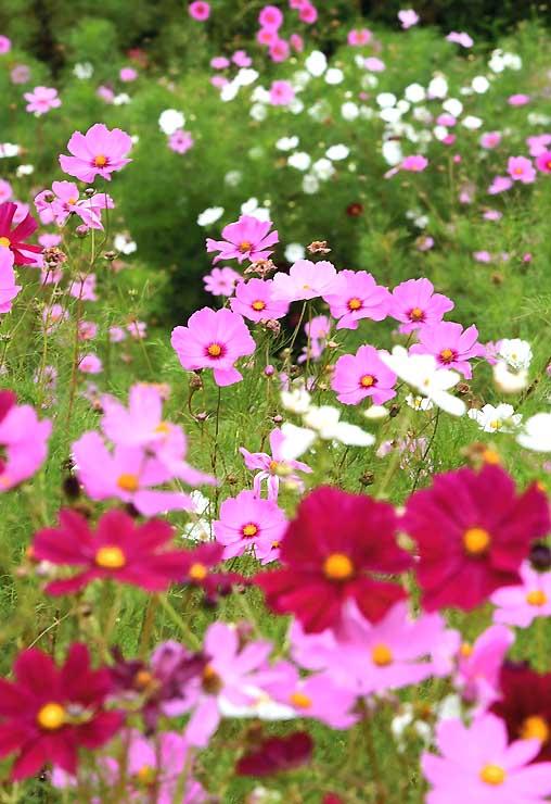 白樺湖畔で斜面を埋めるように咲くコスモス