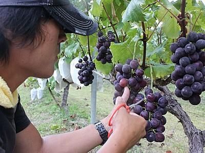 甘さ粒ぞろい 南魚沼のワイナリー 17、18日に収穫祭