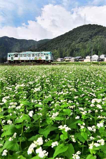 かれんな白い花が満開となっているソバ畑=9日、福井市小和清水町