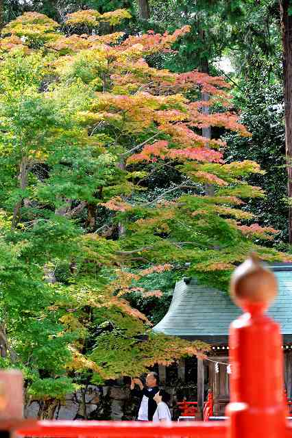 早くも色づき始めたモミジ=10日、敦賀市常宮の常宮神社