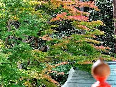 モミジ薄く紅 敦賀・常宮神社